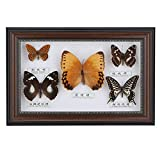 <span class='highlight'><span class='highlight'>Mumusuki</span></span> Exquisite Butterflies Insect Specimen Craft Real Framed Birthday Gift Home Decor Ornament(Black frame)