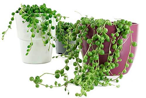 Isenzo Senecio Rowleyanus Zimmerpflanze Perlenschnur Groß Hängend Zimmerdekopflanze Perlenkette im Topf