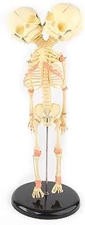 Beautylady Double Head Baby Skull Model Double-Headed Infant Skeletal Model Skeleton Anatomical Brain Anatomy