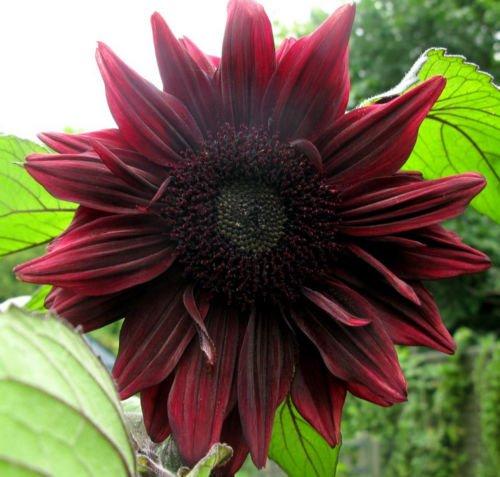 Tournesol Black Magic | 20 graines | « Presque noir » Fleurs | Très difficile à trouver