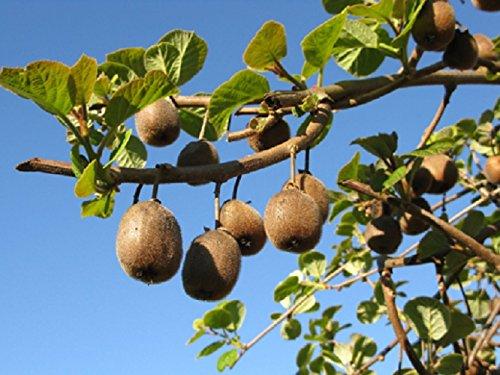 20 graines semences kiwi (groseille de chine) arbre a fruit verger potager