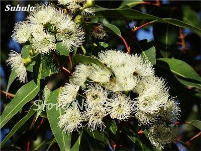 Vente! 100 pcs/sac rares Eucalyptus Graines géant Arbre tropical Graines Angiosperme pour jardin plantation en plein air Bonsai cadeau 1