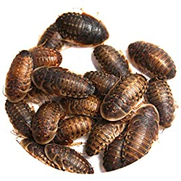 Dubia Roaches – Large (2cm to 3cm)