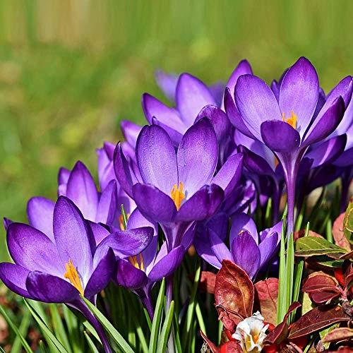 begorey Garten - Krokus Samen 100 Stk. Blumensamen Hausgarten Pflanze Blume Samen (100 Stk.)
