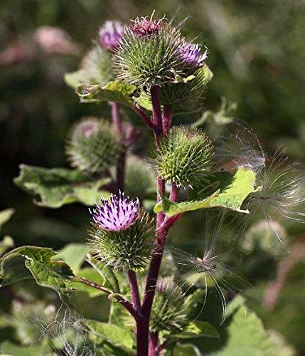 Große Klette Arctium lappa 50 Samen