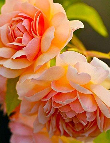 Tiowea 10 stuks pioenroos plant tuin kamer bloemen rozen zaden prachtige bloemen geurende zaden bloem pioenrozen zaden bloemenzaden Originalgröße Type 4
