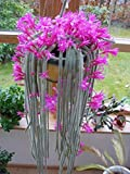 Aporocactus Flagelliformis ~ Coda di ratto Cactus splendido ~ Fiori rosa ~ 5 ~ semi Vendiamo semi non solo la pianta. Il prezzo include funzioni customes Seeds è il pacchetto completo. Trasporto che a livello internazionale