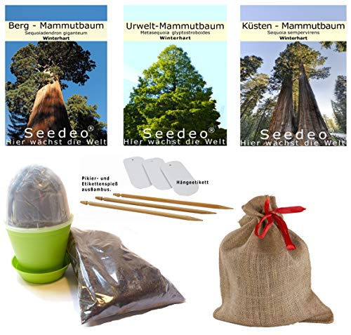 Seedeo® Mammutbaum Anzuchtset. Drei Sorten im Jute Geschenksack Bonsai geeignet.