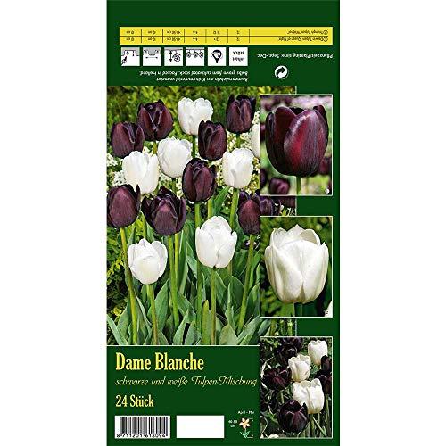 Florado 24x Tulpen-Mix Blumenzwiebeln 'Dame Blanche', Zwiebelblumen, Garten, Blumen Schnittblumen, Bienen Insekten Hummeln, Größe 11/12
