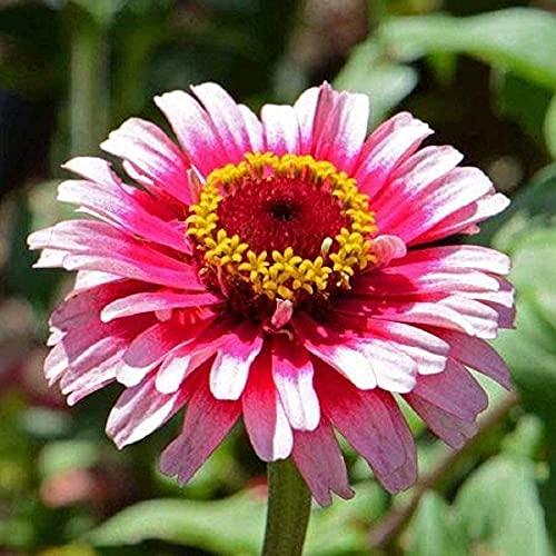 David's Garden Seeds Flower Zinnia Bi-Color Ice Queen 8348 (Multi) 200 Non-GMO,...