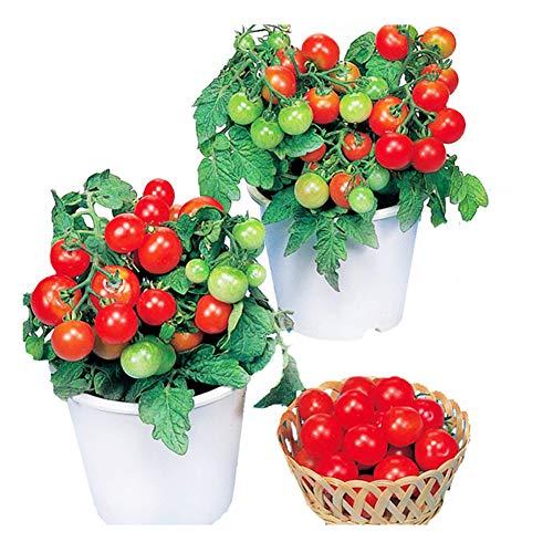 Red Cherry Tomates Pot Semillas 50+ (Lycopersicon) Cherry Ca