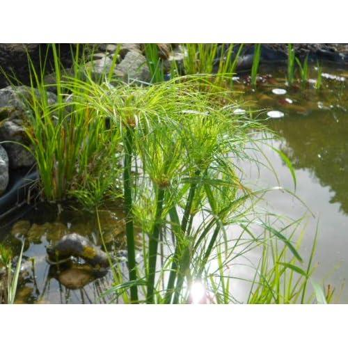 Papyrus Plant: Amazon com