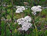 achillea, fiore bianco, perenne, Achillea millefolium, 4500 SEMI