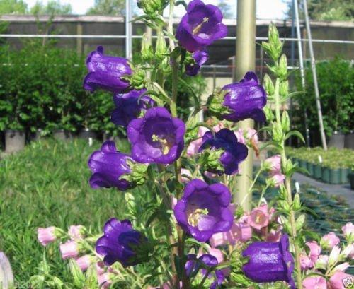 10 graines - Campanula Champion Pro Deep Blue F1 (Seeds) Belles profondes cloches bleu-violet.
