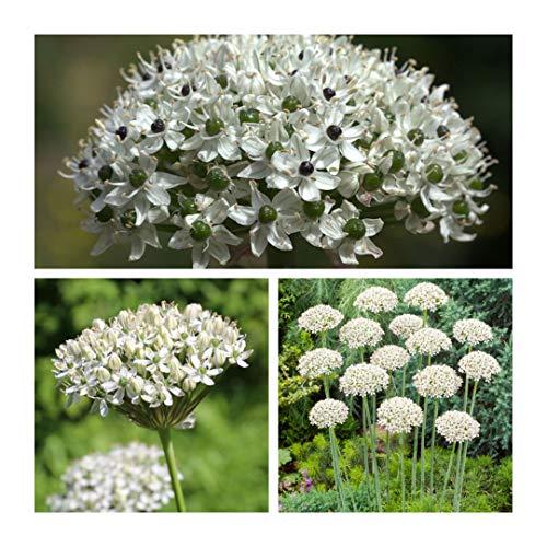 Humphreys Garden Allium Nigrum x 30 Bulbs Blumenzwiebeln Size 10/12