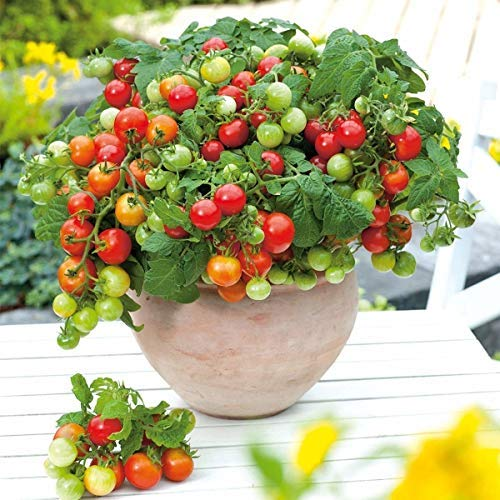 Cietact Seeds 30pcs Cherry Tiny Dwarf Tomato Bonsai Organic Fruits Seeds Including Vitamins A And C Buy Online In Colombia At Desertcart Co Productid 194577798