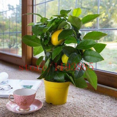 20 graines de fruits de bonsaïs de citron Citrus limon arbre Graines Fruit Jardin Terrasse semence fruits NO-OGM et des graines végétales pour le jardin bricolage