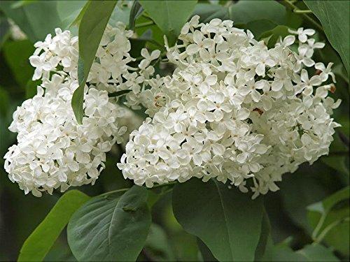 20 BLANC LILAS Colibri TREE fleur odorante Pékin Syringa pekinensis Seeds