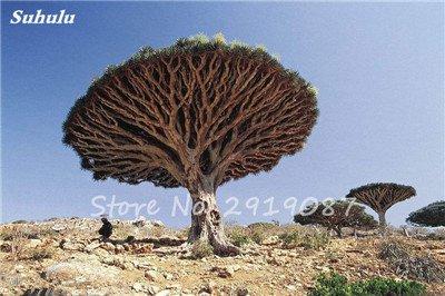 Livraison gratuite 10 Pcs rares Dracaena arbre alpiste Tree Island sang (Dracaena draco) Jardin des plantes voyantes, exotiques 5 Diy