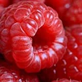 50semi di semi di lampone rosso Bush Rubus Jumbo lamponi Sweet Fruit