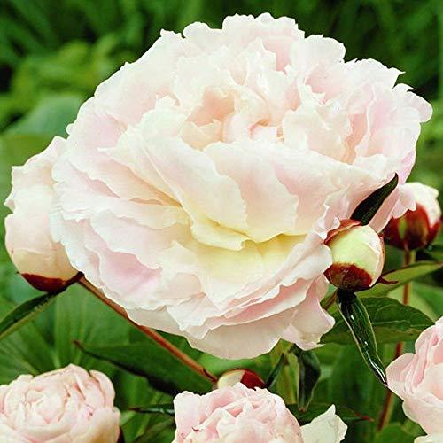 Pfingstrose Garten blumen Pfingstrosen zwiebeln Zwiebelblumen winterhart 1x Rhizom Chinesische pfingstrose Shirley Temple