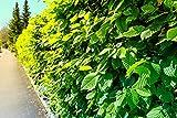 10st. Hainbuche 120-150cm Heckenpflanzen Carpinus betulus Hecke Weißbuche Gartenhecke Hainbuchen Wurzelware