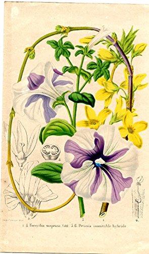 Forsythia suspensa Vahl. Petunia inimitable hybride. Kolorierte Lithographie (aus: La Belgique Horticole. Journal des jardins, des serres et des vergers).