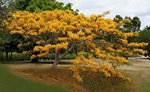 Yellow Flamboyan Royal Poinciana Delonix Regia Bonsai Tree Exotic 50 Ct - (BB)