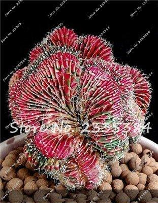 10: Rare Exotic Cactus Seeds Plantes Succulentes Cactus Bleus Pour La Décoration De La Maison Jardin Purifiez L'air Et Empêchent Le Rayonnement - 100 Pcs
