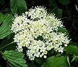 Arrowwood Viburnum - Established Perennial Shrub - 1 Gallon Trade Pot...