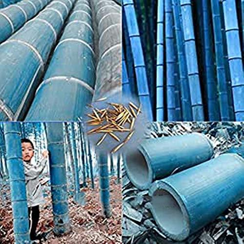 40 pcs / sac rares graines de bambou bleu, jardin décoratif, plante planteur bambu graines d'arbres pour le jardin de la maison diy envoyer un cadeau