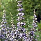 Genipap 30 semillas de flor Vitex Agnus-castus