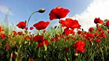 Portal Cool Las semillas de amapola roja (Papaver somniferum) 3000 Semillas Poppys rojas