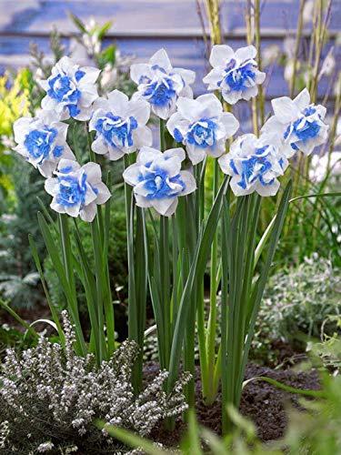 Generic Fresh 100pcs Narcissus semillas de flores para plantar White sky blue