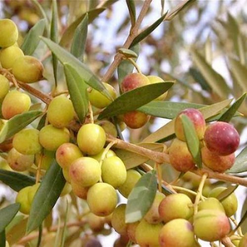 Olive Trees'Arbequina' (Black) Includes Four (4) Live Plants