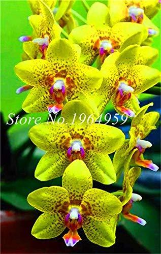 Shopmeeko Graines: Bonsai Multi-couleur de la fleur d'orchidée Fleurs 100 Pcs Potted/Mixed Bag Cymbidium Faberi Balcon Plante en pot pour jardin: 15
