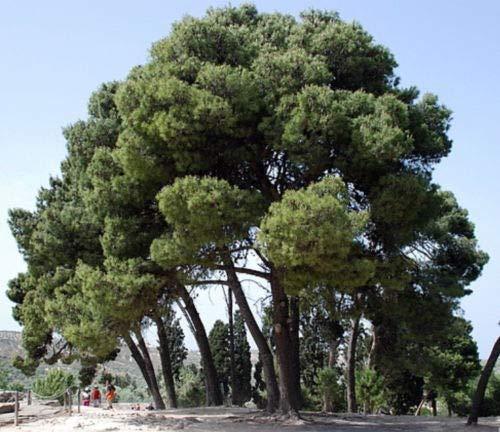 Tree Seeds - 30 Seeds of Aleppo Pine Bonsai - Pinus halepensis -  hirtsgarden