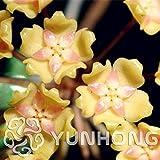 15: 100 pc/bolso hoya, semillas de bola flor de la orquídea de la planta perenne carnosa de hoya, semillas de orquídeas raras, bonsai planta de tiesto para jardín