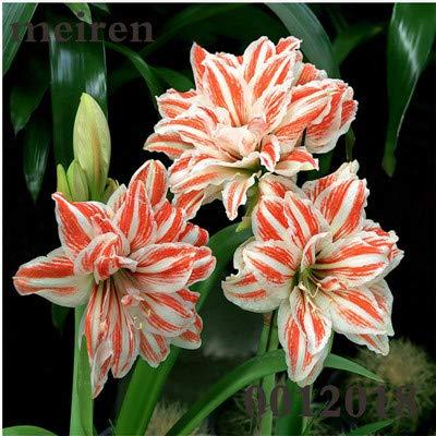 Generic frische 200 Stück Amaryllis Barbados Blumensamen zum Pflanzen Orange weiß 1