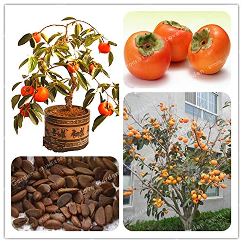 AGROBITS 20 Pcs Persimmon Bonsai Exotique Bonsai Belle délicieux Diospyros arbres fruitiers Accueil Kaki Jardin Fruit Bonsai pot