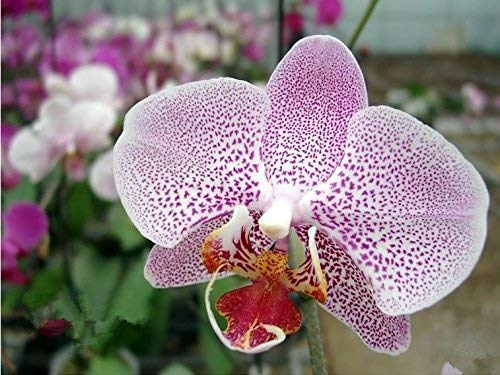 UEYR 100PCS Semillas de orquídeas de Semillas de Semillas de orquídea Phalaenopsis jardín de casa compran Directo-de-China Orqui semente