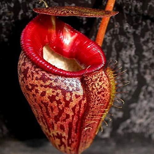 Benoon Nepenthes Seeds, 20 Stück/Beutel Nepenthes Seeds Tropische Hohe Keimrate Mehrfarbige Seltene Kannenpflanzensamen Für Zu Hause rot Nepenthes Samen