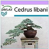 SAFLAX - Cedro del Líbano - 20 semillas - Cedrus libani