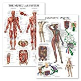 2 Pack - Muscular System Anatomical Poster + Lymphatic System Anatomy Chart
