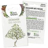 Kit graines de Bonsaï Gommier des neiges: Graine de plante Bonsai de première qualité pour mini jardin ou potager zen - Coffret 5 graines de plantes Gommier des neiges à faire pousser par OwnGrown
