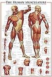 empireposter Educational - The Muscular System - Bildungs