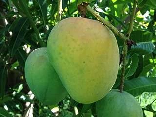 1 Mango Tree Alphonso Variety Fruit Trees Rare