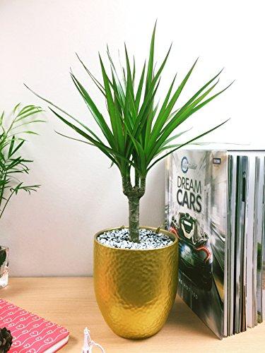 Pot doré luxueux en céramique pour fleurs, Dragon Tree