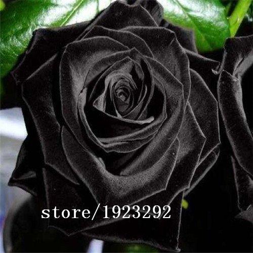 Haute qualité Facile de grande vente Chine Rare Seeds Black Rose fleurs à planter la famille Jardin Graines La rosa negra Se
