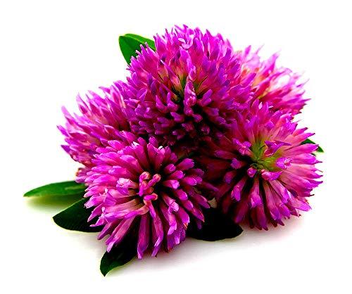 GETSO Graines Plantes: Pas autorisée 4000: 2000/4000 Trèfle Rouge/Clover s Miel/Trifolium